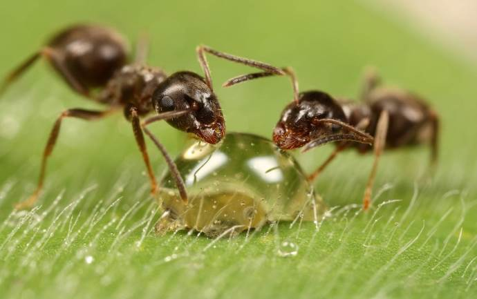 муравьи пьют из капли